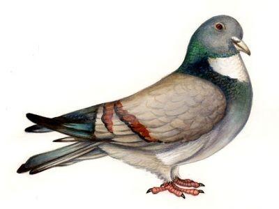 Pigeon cauchois 2.jpg