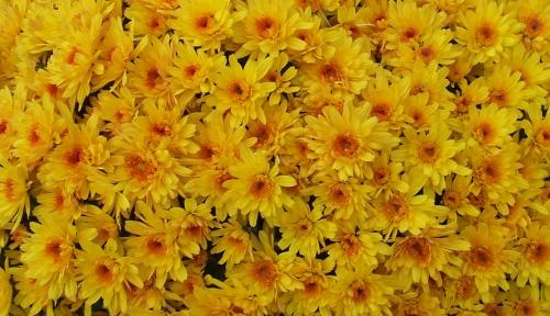 chrysanthème 0.jpg