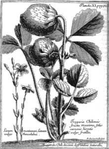 Fragaria Chiloensis.jpg