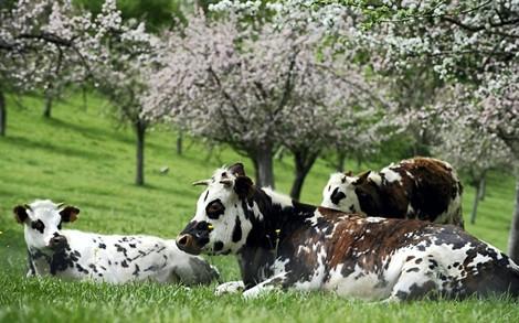 vache-normande 3.jpg