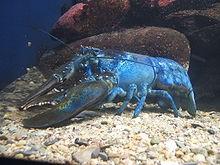 220px-Blue-lobster.jpg