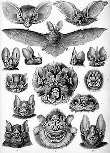 Diverses têtes de Chiroptères.jpg