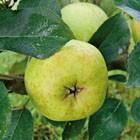 poulet sauté d'yvetôt aux pommes,reinettes normandes,pommes de normandie