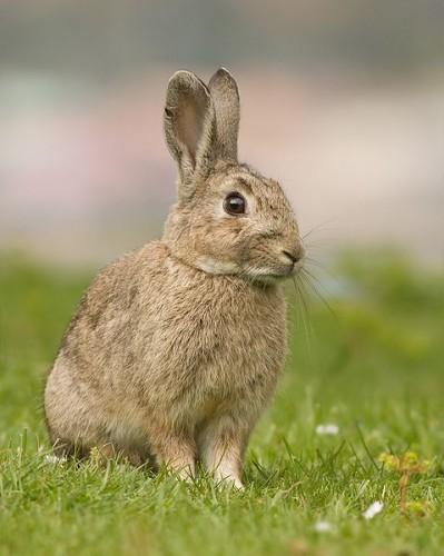 Le lapin de garenne.jpg