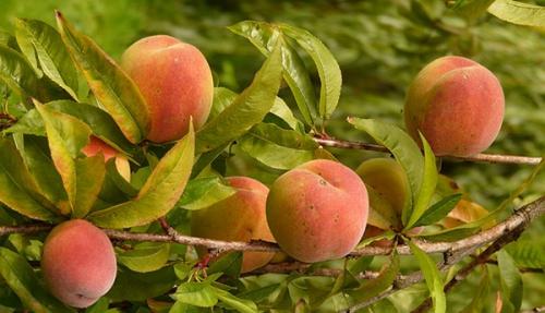 peches-fruit-ete-02.jpg