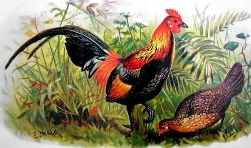 la genealogie des poules 2.jpg