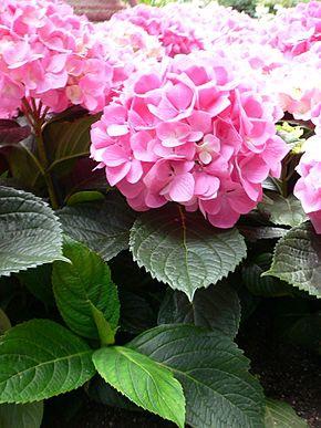 hortensia 3.jpg