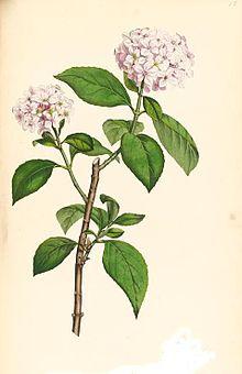 hortensia 4.jpg