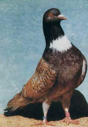 Pigeon Cauchois.jpg
