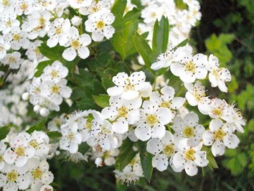 fleurs de mai epine blanche.JPG