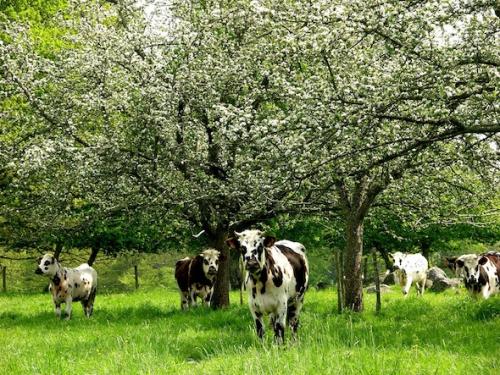 vache-normande 2.jpg