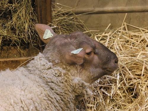 roussin de la hague,mouton,navarin de mouton du cotentin