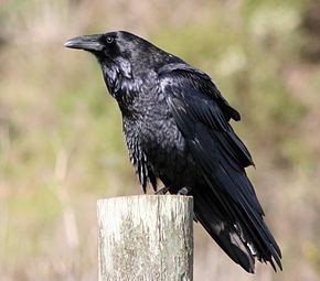 Grand corbeau.jpg